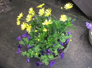 Some yellow daisies and purple wave petunias